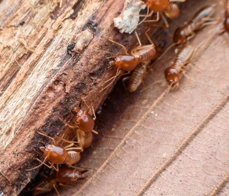 Drywood Termites No Tent Solutions Petri Pest Control Services